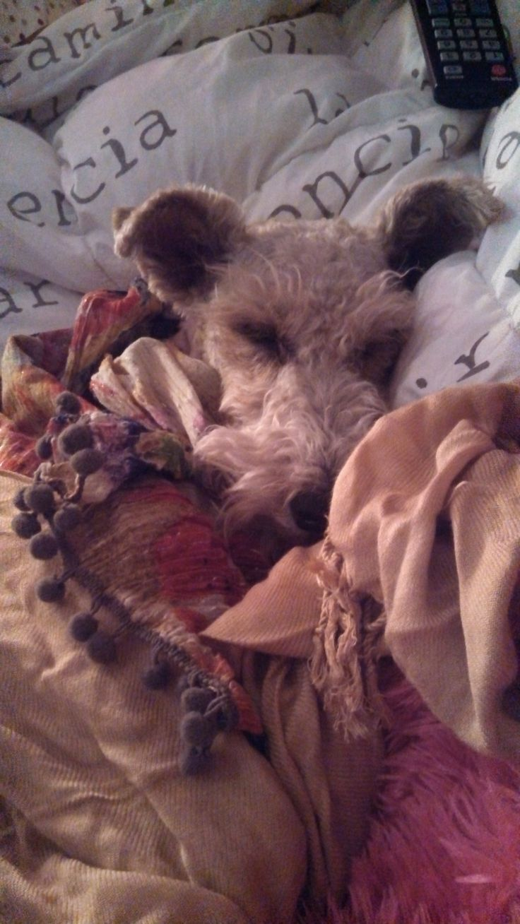 Sleeping again... Wire fox terrirer   #fox #terrier #dog