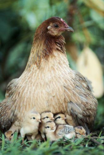 mamá gallina y sus polluelos