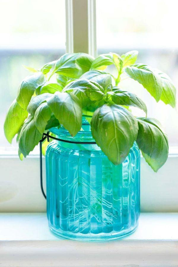 planter du basilic des racines dans l'eau en 2020 ...