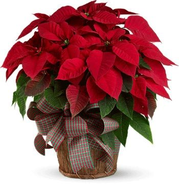 Poinsettia is a popular plant for florists to sell at Christmas.