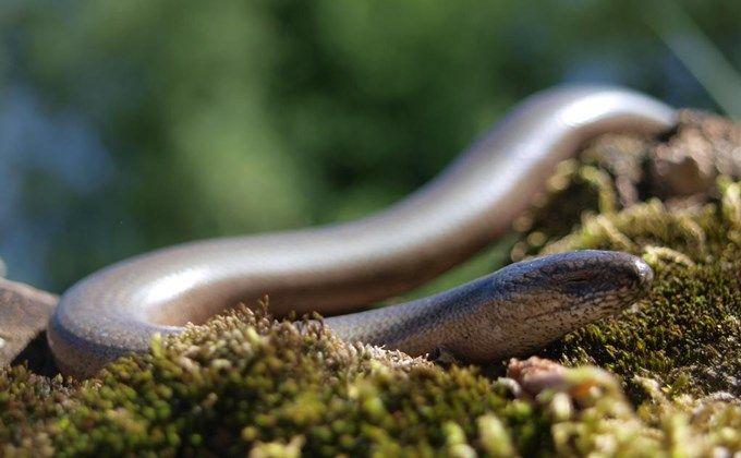 アシナシトカゲの飼育方法 人気の種類や寿命 紫外線は必要なの Woriver トカゲ ヘビ ペットショップ