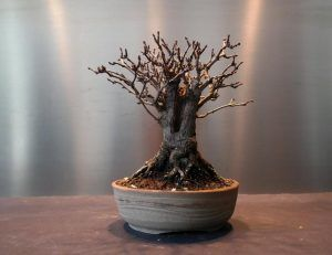 Bonsai qui perd ses feuilles