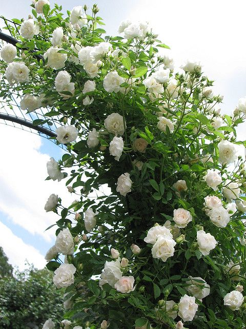 white climbing roses | Recent Photos The Commons Getty Collection Galleries World Map App ...