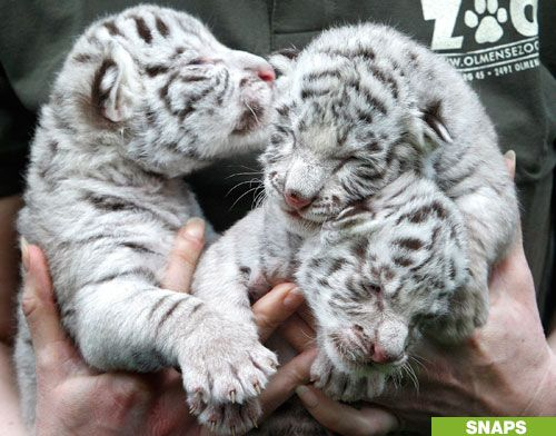 tiger images | Baby Tigers 4