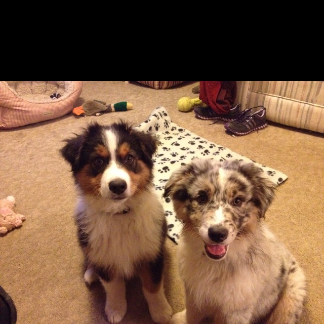 Nothing better than having Aussie pups in the house.