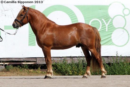 Finnhorse - stallion Villin Vilkeri
