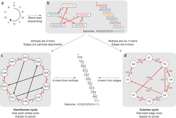 Two strategies for genome assembly: from Hamiltonian cycles to Eulerian cycles.