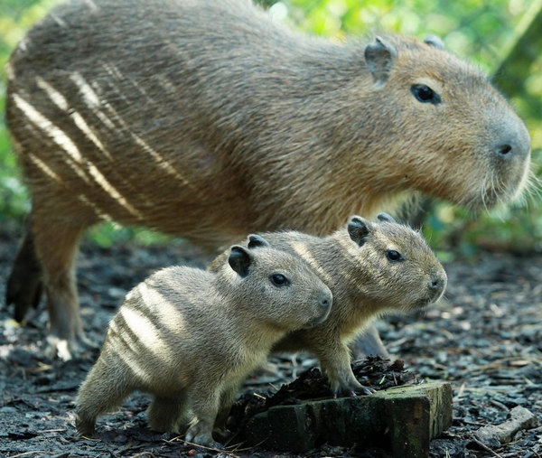 Capybaras at the Belfast Zoo - world's largest rodent species Twin capybara babies, named Gus and Jacques, were born to parents Charlie and Lola on April 3.