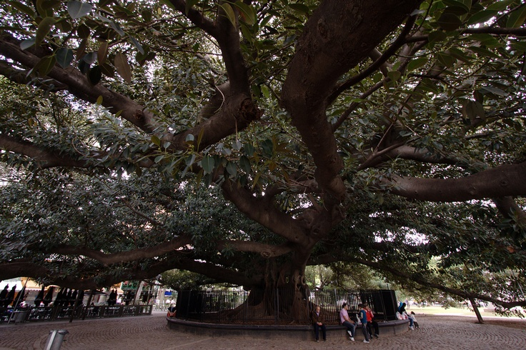 Massive 200 Year Old Rubber Tree Quot Gomero Recoleta Quot Buenos
