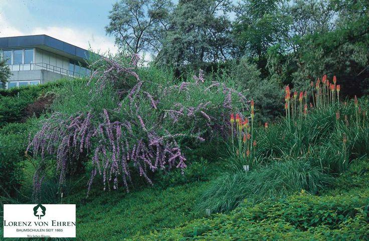 1000 ideas about buddleja alternifolia on pinterest. Black Bedroom Furniture Sets. Home Design Ideas
