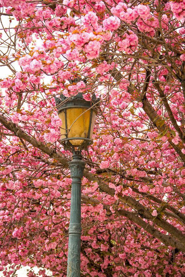 Paris Flower Photo Spring Photography Cherry Blossoms Notre Etsy In 2020 Spring Photography Flower Photos Paris Photography
