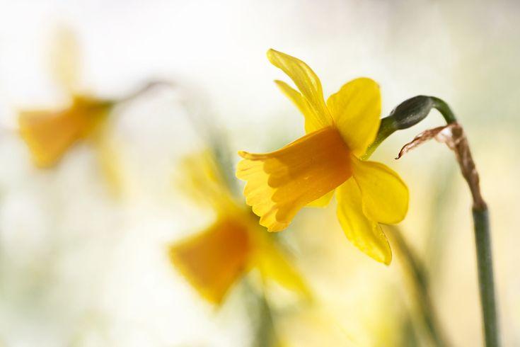 Скачать обои spring yellows, нарциссы.жёлтые, макро, боке, раздел цветы в разрешении 2048x1365