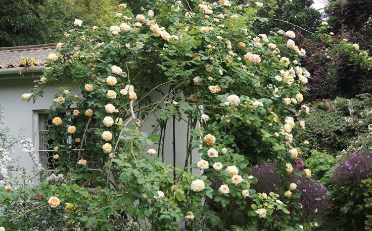 Large, quartered, rosette bloom. Yellow orange shading.