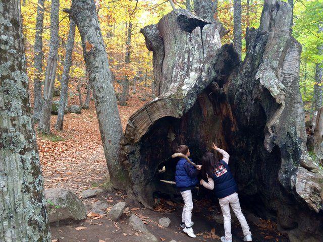 Castañar el Tiemblo, un bosque de fábula donde recoger castañas con los niños
