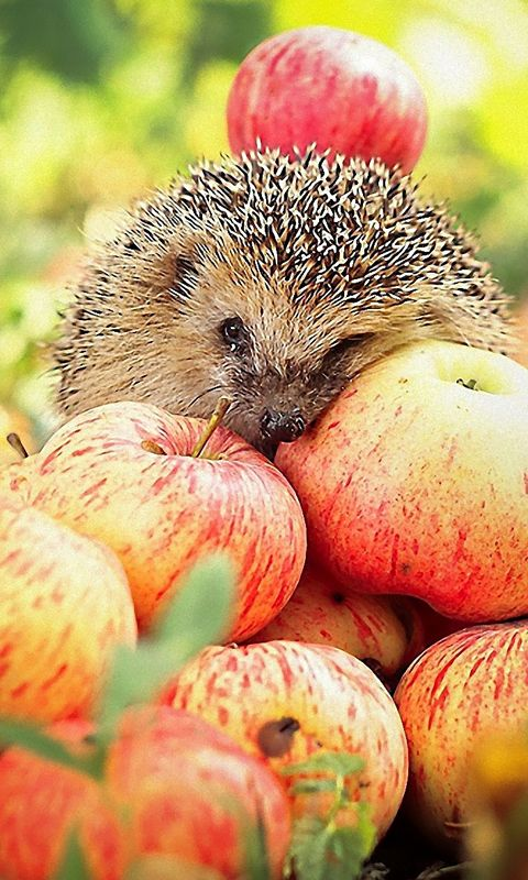 hedgehog + apples