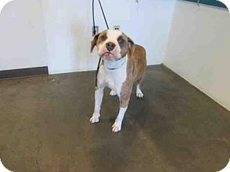 Chatsworth, CA - Pit Bull Terrier. Meet SHINGLES, a dog for adoption. http://www.adoptapet.com/pet/12808546-chatsworth-california-pit-bull-terrier