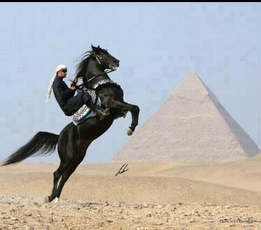 Egyptian Arabian Horse...Wow, I love this picture                              …