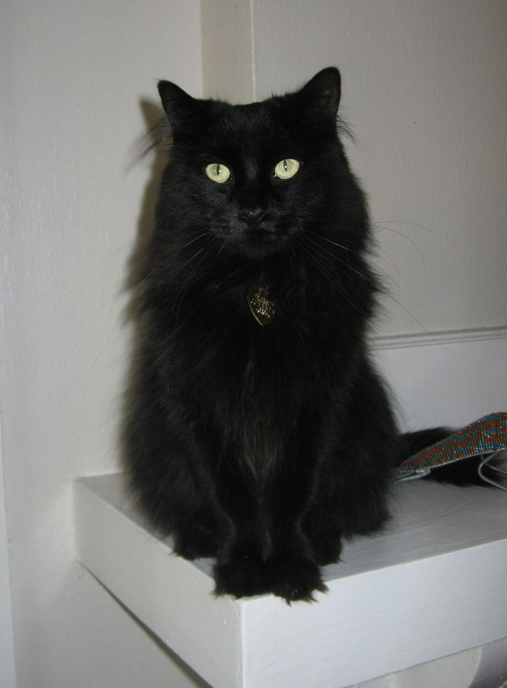 long haired british black cats   Top 10 Wackiest Cat Names