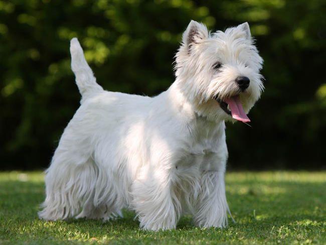 West Highland White Terrier | West Highland White Terrier : chien et chiot. Westie, Terrier blanc ...