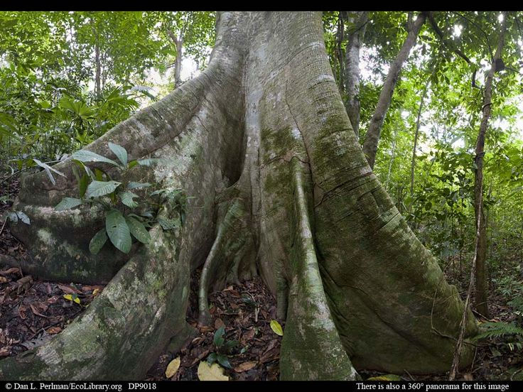 Panorama of Lowland tropical rainforest with giant fig tree ||| Mahali is full of trees trunked in this fashion.