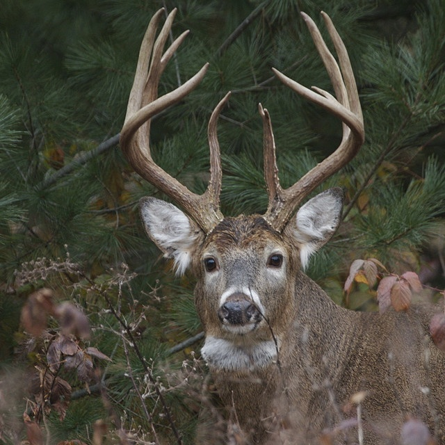 White-tailed buck by hank the elder, via Flickr