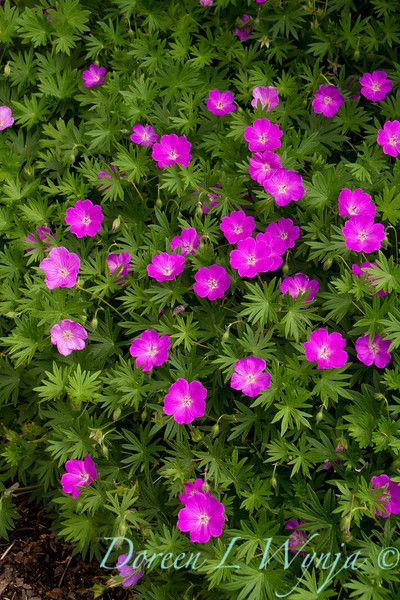 Geranium sanguineum Max Frei. At edge of bed by front yard.