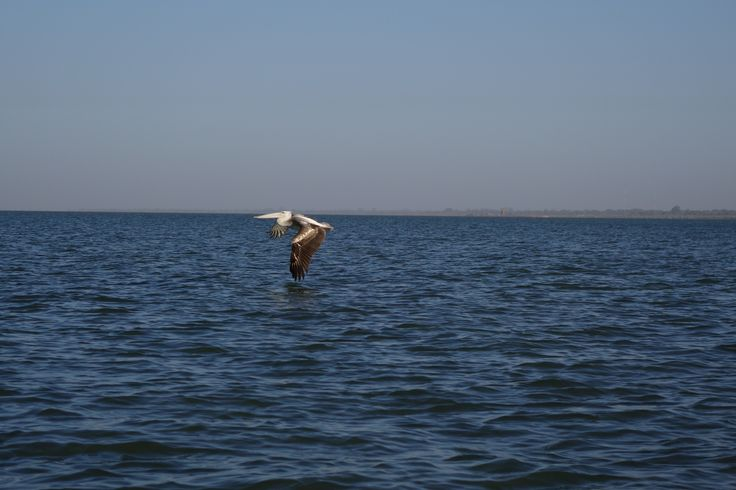 Low Flying Pelican!