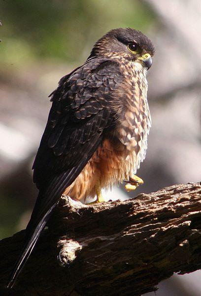 NZ Falcon - Karearea - NZ bird of the year 2012