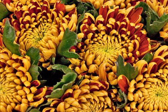 Yellow/ Orange Tom Pearce Chrysanthemums at New Covent Garden Flower Market