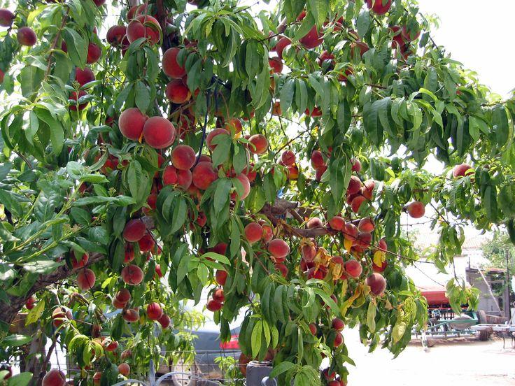 Peach tree, Ροδακινια