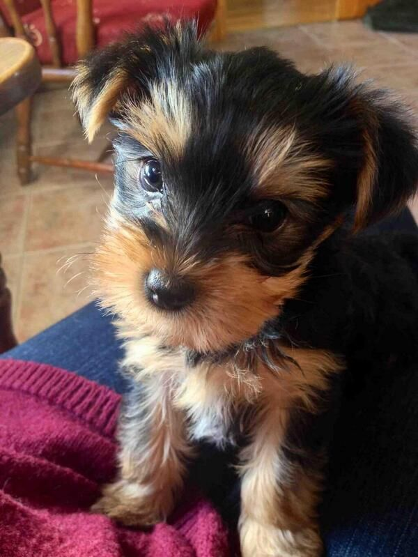 Yes, I'm judging you , but it's ok because I'm cute.  teacup terrier