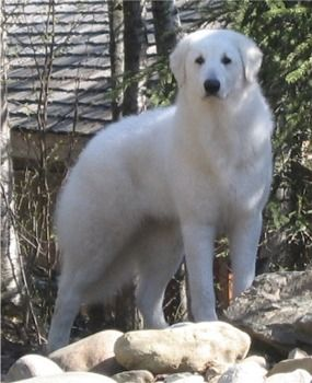 Kuvasz Are Famous As The Guard Dogs Of Hungarian Royal Family They