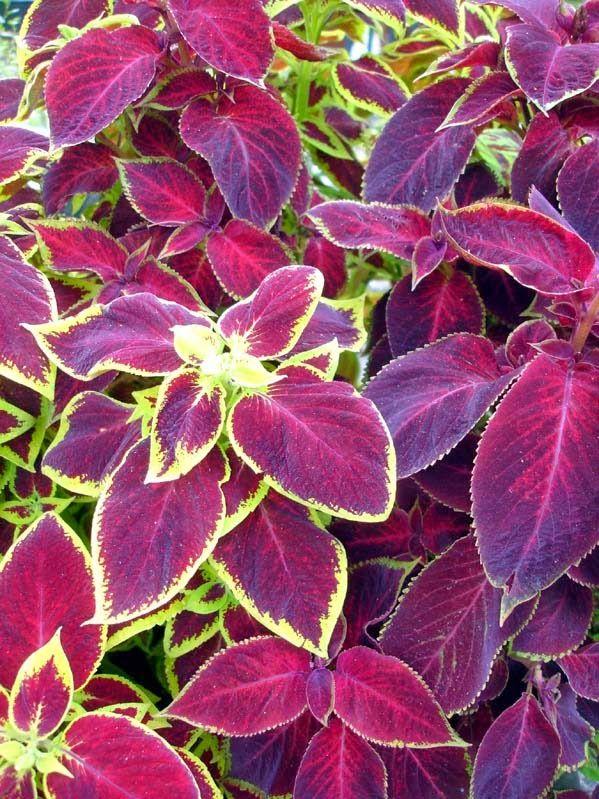 Tankar om och från min trädgård.: Palettblad - Solenostemon scutellarioides - Frösådd.