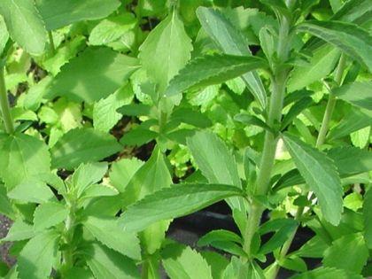 Stevia (stevia rebaudiana): Fűszer- és gyógynövények   Ár: 1000.00 Ft