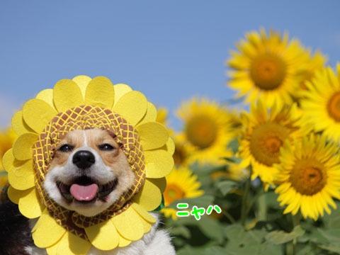 sunflower corgi STOPPPP