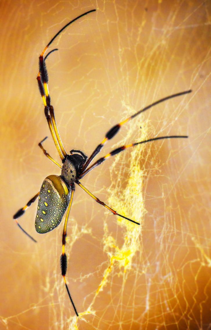 #saveanimals #spider #thephotosociety #pereira #colombia #magiasalvaje #araña #aracnido #nephila