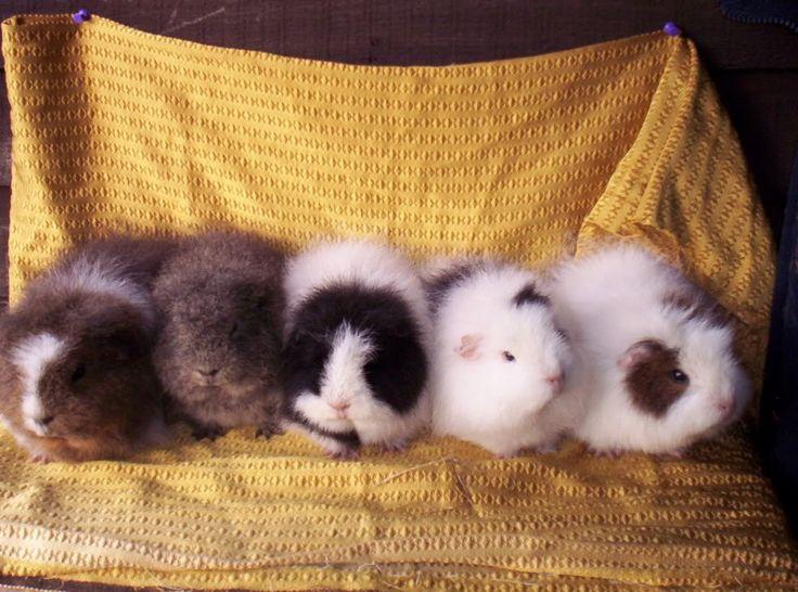 Swiss guinea pigs