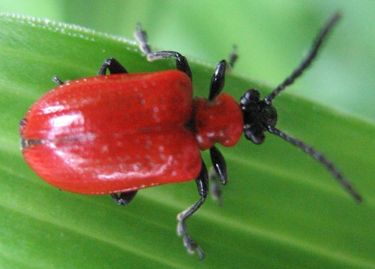 Additionally known as the red lily beetle or the lily fallen leave beetle, the scarlet lily beetle is a fallen leave beetle that eats the leaves, stem, buds, and flowers of lilies, butterflies as well as various other family members Liliaceae. Although this little red bug looks lovable, it is considered a parasite in a lot of pleasant environments where lilies are cultivated. Beautiful Red Animals, red animals, beautiful animals, amazing animals with red, red colored animals, red beast…