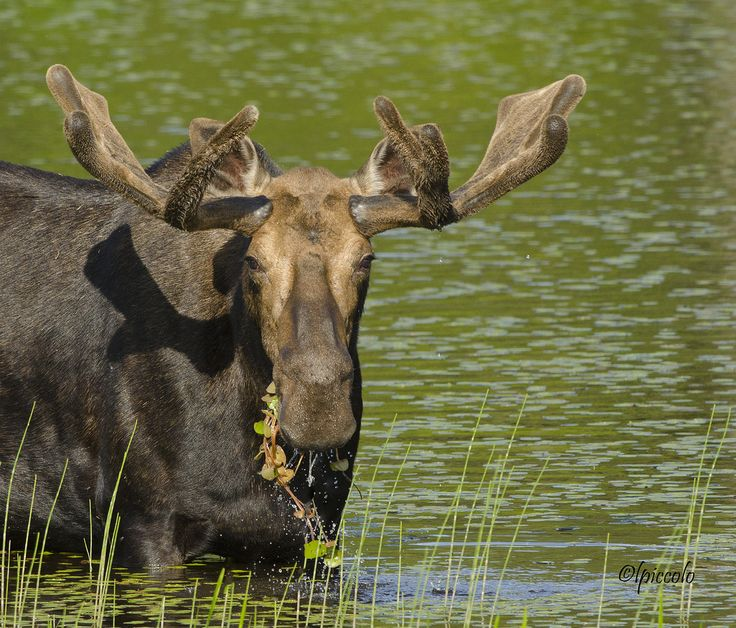 Photo: Les Piccolo: Maine Moose, Maine Wildlife