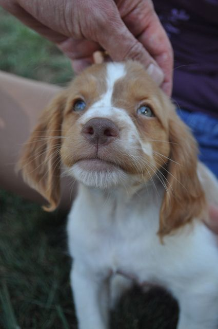 How could anyone resist such a sweet little face -- Brittany pups are the cutest.