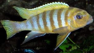 Malawi Cichlid - Pseudotropheus sp Mdoka 2-4cm (4 fish)