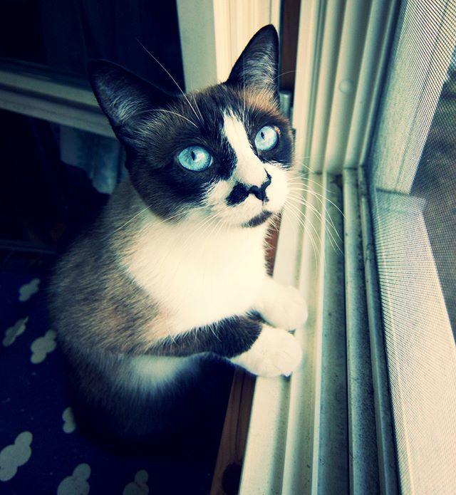 サンタしゃん来たらねぇ、捕まえるなの💕 やめなはれ(#^ω^) #catstagram#pet#cats#neko#ilovecat#にゃんこ#ネコラ部#モフモフ#保護猫#愛猫#みんねこ#nekoclub#NEKOくらぶ#lovely#cute#funny#meow#instacat#変顔#顔芸#kawaii#sippo#猫写真