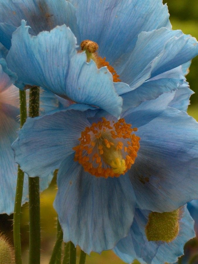 Himalayan Blue Poppies - Upclose by Cambre Skaggs on 500px