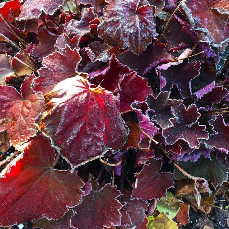 33 best pflanzen in unserem garten images on pinterest garten plants and beets. Black Bedroom Furniture Sets. Home Design Ideas