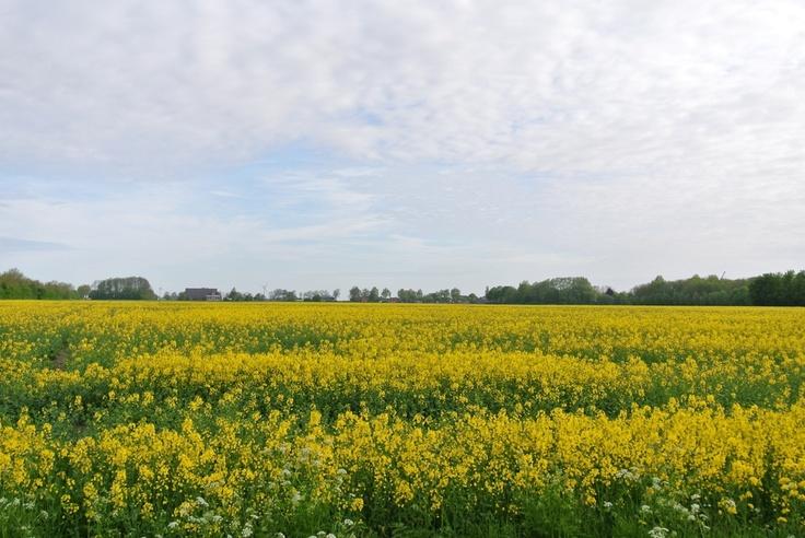 Koolzaadveld nabij Den Andel