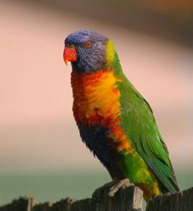 Il n'existe aucune hiérarchie linéaire (de dominance) et aucune hiérarchie par agression (pecking order) chez les perruches comme les perroquets, y compris la perruche ondulée.