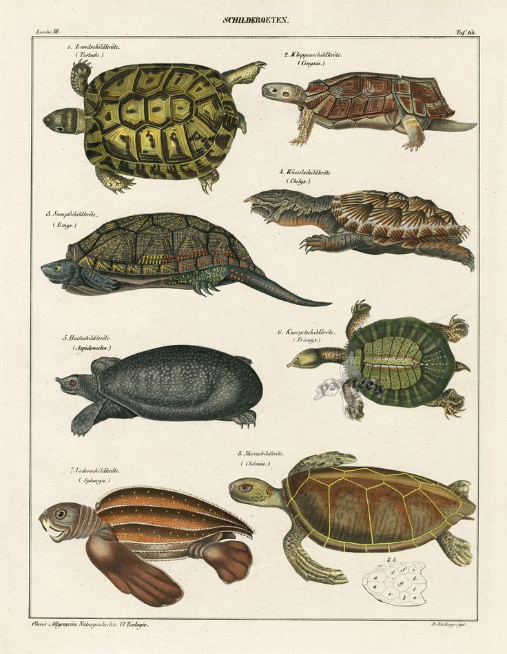 Snapping Turtle, Sea, Land Turtles from Lorenz Oken Abbildungen Naturgeschichte für alle Stände Prints 1843