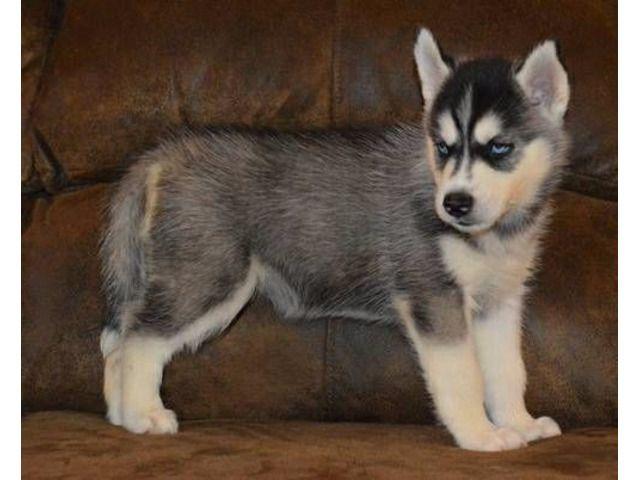 12 Weeks Old Siberian Huskies Needing A Good Home Husky Puppy