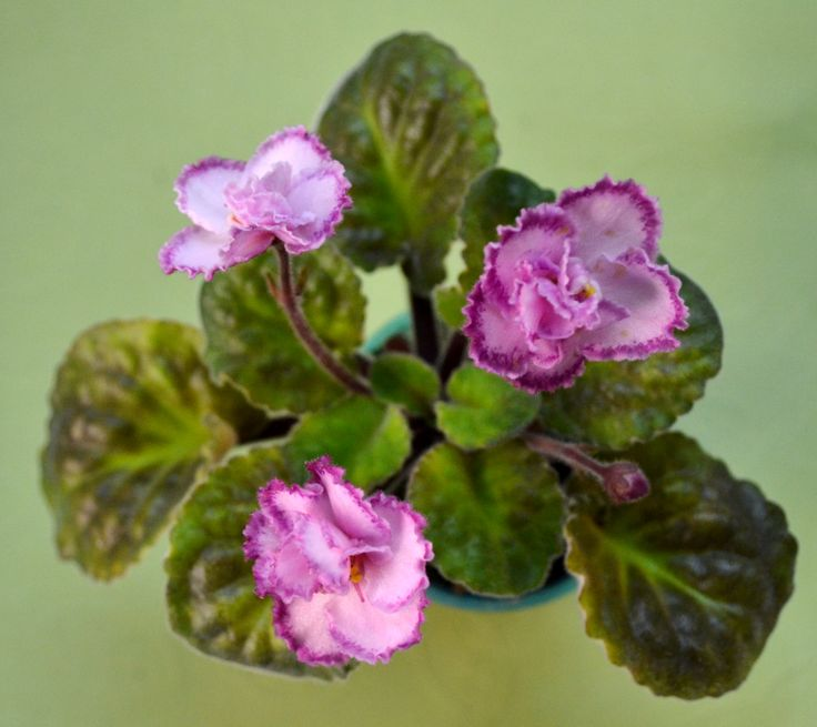 78 Best Images About African Violet Plants Different