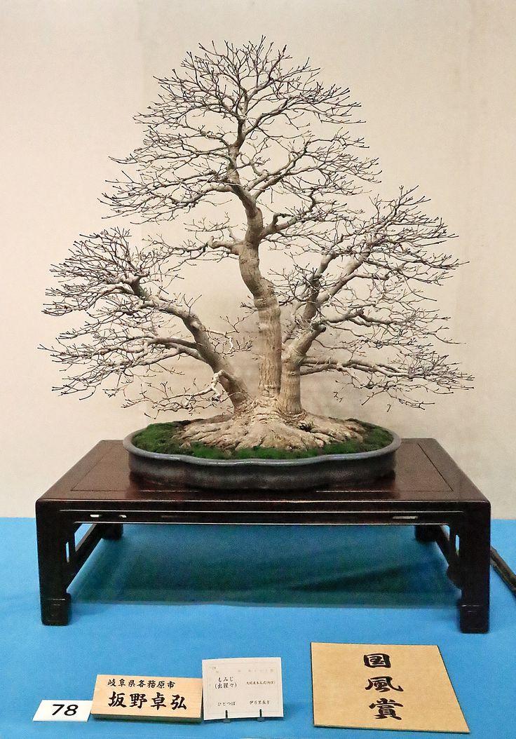 204 besten Bonsai Bäume Bilder auf Pinterest Ausstellungen - tipps pflege pflanzen wintergarten